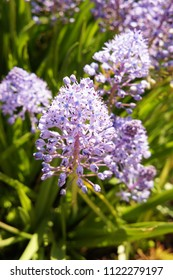 Scilla litardierei or amethyst meadow squill or dalmatian scilla violet flowers