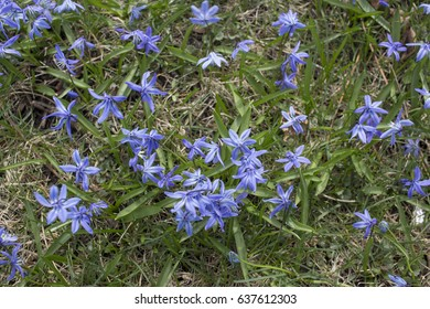 Scilla Siberica flowers in the Spring