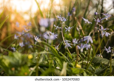 Scilla siberica spring beauty in forest. Spring is at door.