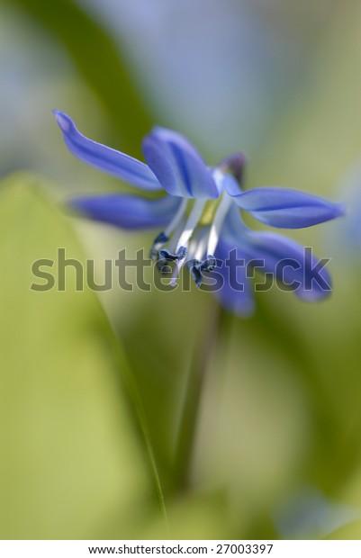 Scilla sibirica - lovely blue spring flower