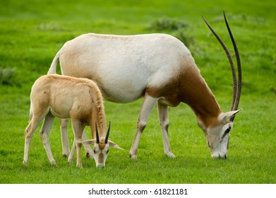 Scimitar-Horned Oryx with baby.