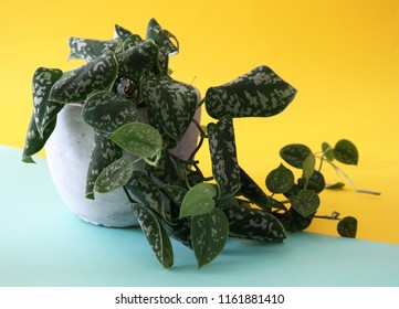 Scindapsus, (also called Devil's ivy) a genus of flowering plants in the Araceae family, isolated on a geometrical colorful yellow and turquoise background.