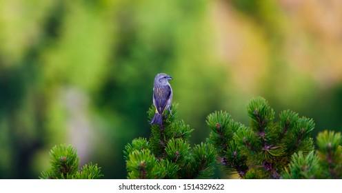 scissor beak bird in nature