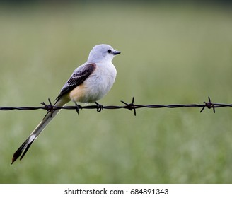 Scissor tailed flycatcher on barbed wire fence, Boone County,  Arkansas