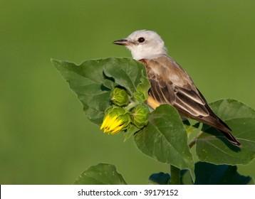 Scissor tailed Flycatcher on a sunflower