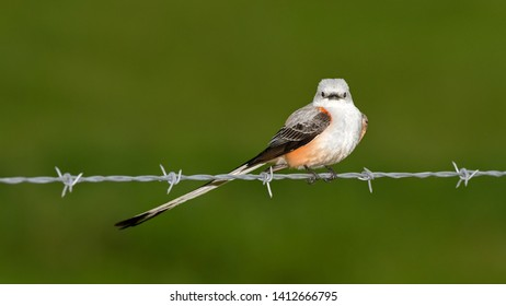 Scissor Tailed Flycatcher On a Wire Fence