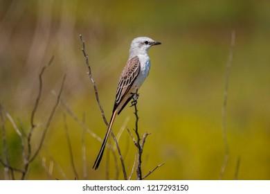 Scissor tailed flycatcher perched in grassy field