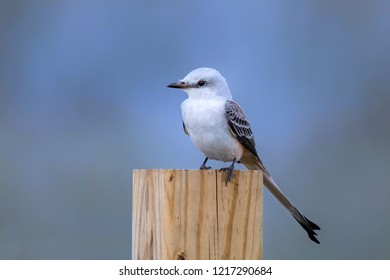 Scissor tailed flycatcher perched on fence post
