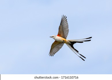 The scissor tailed flycatcher (Tyrannus forficatus) in flight
