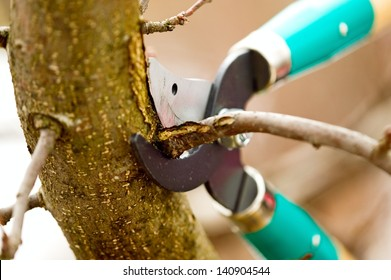Scissors is cutting branches from tree, trimming