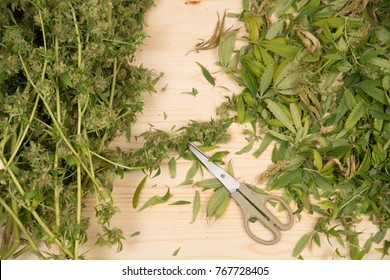 scissors and trimmed cannabis plant and leaves on  wooden table photographed from top