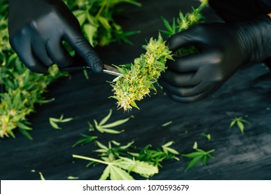 Scissors Trimming Marijuana Leaf from Cannabis Plant at Indoor Farm