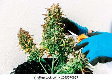 Scissors Trimming Mature Indoor Marijuana Bud for Harvest