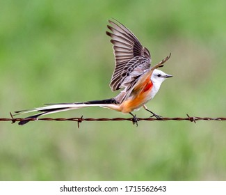 Scissortail Flycatcher landing on barb wire fence