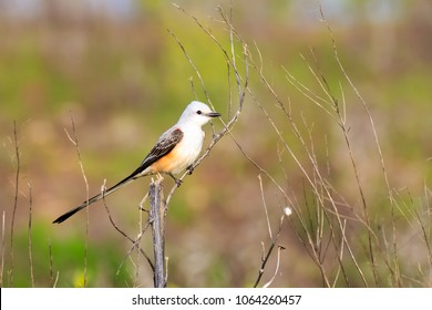 A Scissortail Flycatcher perched on a twig near a lake shore in Oklahoma City. The Scissortail is the Oklahoma State Bird.