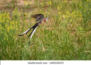 Scissortail Flycatcher (Tyrannus forficatus) in flight