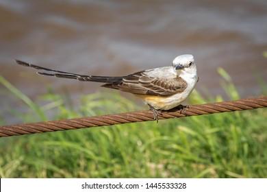 Scissortail Flycatcher (Tyrannus forficatus) perched on a wire
