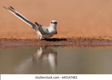 Scissor-tailed Flycatcher drinking