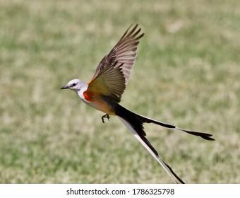 The Scissor-tailed Flycatcher in flight