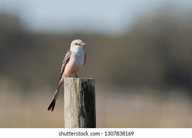 Scissor-tailed Flycatcher in Florida