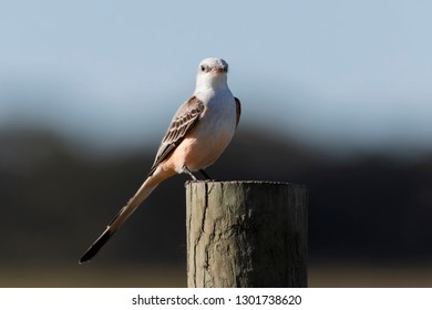 Scissor-tailed Flycatcher at Joe Overstreet Road, Florida