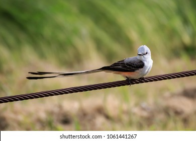A Scissor-Tailed Flycatcher near a lake in Oklahonma City. The Scissor-tail is the Oklahoma State Bird.