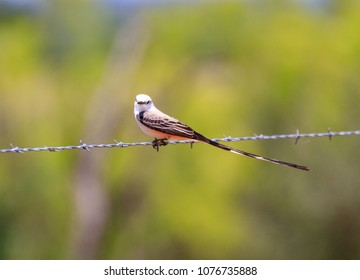 scissor-tailed flycatcher on barbed wire