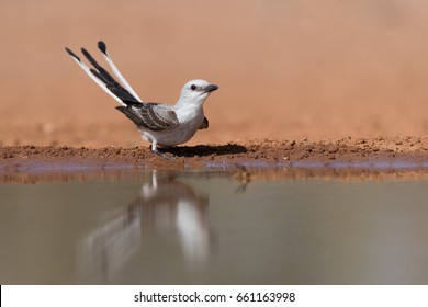 Scissor-tailed flycatcher on edge of pond drinking