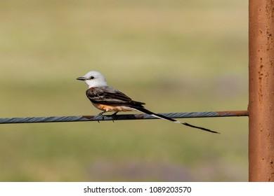 Scissor-tailed Flycatcher on a fence