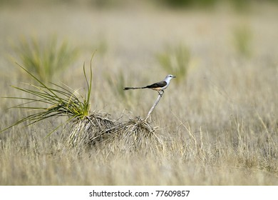 Scissor-tailed Flycatcher on a ranch in the Texas Panhandle