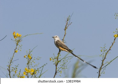 Scissor-tailed Flycatcher perched high up in a tree