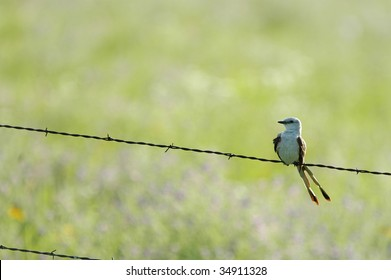 A scissor-tailed flycatcher perched on barbed wire from the great plains of central Kansas.