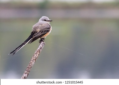 A Scissor-tailed Flycatcher perching on a branch while scanning for aerial insect prey