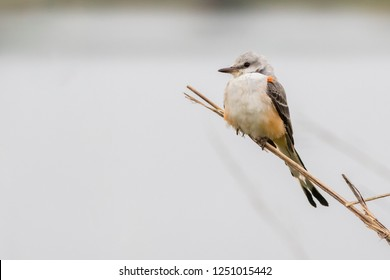 A Scissor-tailed Flycatcher perching on a reed while scanning for aerial insect prey