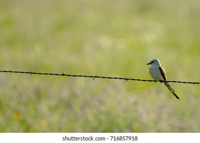 Scissor-tailed flycatcher sitting on barbed wire fence in south central Kansas.