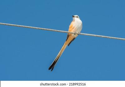 Scissor-tailed Flycatcher sitting on a power line against blue sky