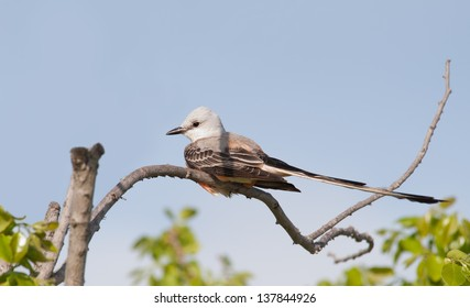 Scissor-tailed Flycatcher sitting in a persimmon tree in spring, against blue sky