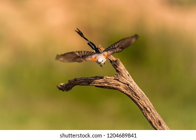 Scissor-tailed Flycatcher takes flight from a perch during spring migration at Laguna Seca Ranch, April 17, 2015 in Edinburg, TX.