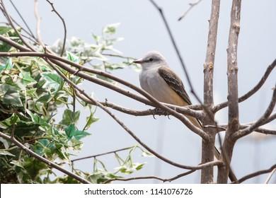 Scissor-tailed Flycatcher (Tyrannus forficatus) captive
