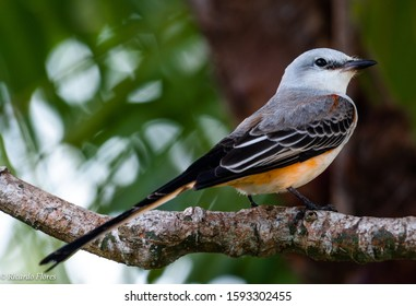A scissor-tailed flycatcher (Tyrannus forficatus), also known as the Texas bird-of-paradise resting after a long migration journey.