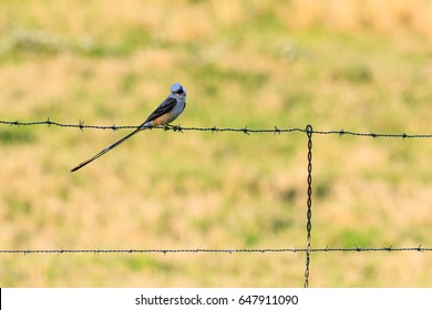 Scissor-tailed flycatcher, Tyrannus forficatus, on a barbed-wire fence hunting for food, Searcy, Arkansas spring 2017.