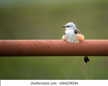 Scissor-tailed Flycatcher (Tyrannus forficatus) perched on fence railing in Texas spring. Natural green background with copy space.