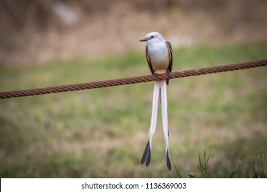 Scissor-tailed Flycatcher (Tyrannus forficatus) perched on a wire