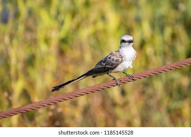 A Scissor-tailed FlycatcherTyrannus forficatus perched on a wire