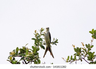 Scissor-tailed Flycatcher (Tyrannus forficatus) perched at very top of live oak tree with tail split as per its name.  Shortly after rain storm with strong back light.