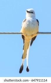 Scissor-tailed flycatcher, Tyrannus forficatus, perched on a wire in Bald Knob, Arkansas
