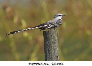 Scissor-tailed flycatcher (Tyrannus forficatus) sitting on pole, Bolivar Peninsula, Texas, USA