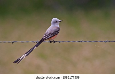 Scissor-tailed Flycather perched on a wire