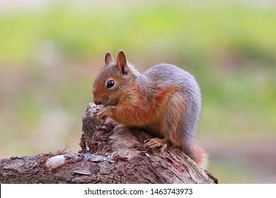 Sciuridae squirrel sincap nature wild