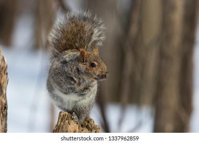 Sciurus carolinensis, common name eastern gray squirrel or grey squirrel